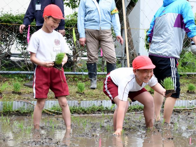 泥の中を進み、手植えを楽しむ白山小の児童