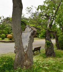 防腐処理が施された水沢公園の桜。市は市民らからの植樹の協力を得ながら、順次植え替えを進める方針だ