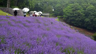 斜面を紫色に染める石神の丘美術館のラベンダー園。現在の景色は今年で見納めになる