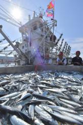今季初水揚げされた秋の味覚サンマ=25日午前8時22分、大船渡市魚市場