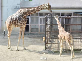 定期的な栄養状態確認のため受診動作訓練を始めたリンタ(左)と、リンタとユズの子カリン