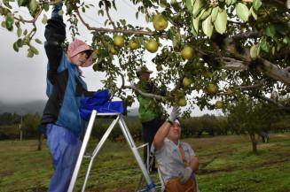 台風接近に備え、ラ・フランスの収穫を急ぐ紫波農園の従業員=6日、紫波町小屋敷
