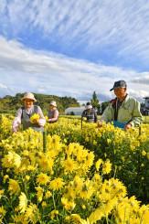 秋空が広がる畑で食用菊の収穫に励む生産者=12日、軽米町晴山