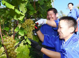 大きく実ったブドウを笑顔で収穫する大迫中の生徒