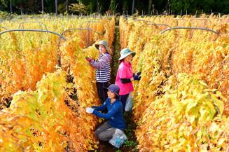 黄色に輝くナガイモの葉に囲まれ、作業に励む庄司礼子さん(手前)ら=26日、滝沢市鵜飼