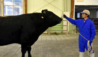 本県歴代最高の枝肉成績で県有種雄牛に選抜された「菊勝久」。本県の和牛評価向上に期待が高まる=住田町・種山畜産研究室