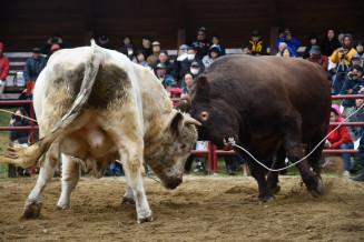 力をみなぎらせ、激しく角をぶつけあう闘牛