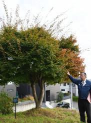 紅葉がまだ一部にとどまる基準木のカエデ。紅葉の観測は約60年前よりも1カ月近く遅れている=2日、盛岡市山王町・盛岡地方気象台