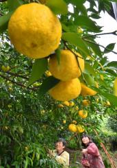 鮮やかな黄色に色づき、枝に連なるユズ=6日、陸前高田市横田町