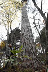 名古屋城天守閣の復元に使われることが決まった「月山松」=奥州市前沢生母