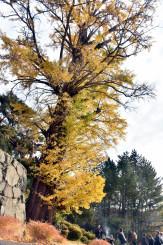 吉祥寺のイチョウの大木。伐採前に法要が営まれ、住民が別れを惜しんだ