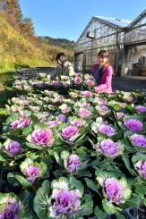 青空の下、陽光を浴びて鮮やかさを増す葉ボタン=27日、一関市花泉町・花と泉の公園