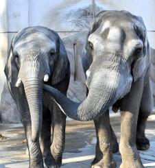 死んだアフリカゾウたろう(右)。雌のマオと仲良く寄り添っていた=1月13日撮影