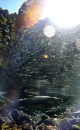 晩秋の光を浴びながら産卵のため川をさかのぼるサケ=2017年11月、陸前高田市・矢作川(潜水、水中カメラで撮影)