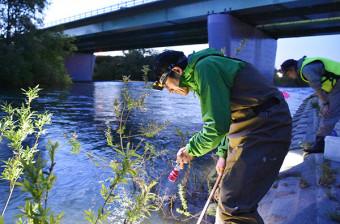 日没後の豊平川でサケ稚魚を探す森田健太郎さん(手前)。資源維持に向けて自然産卵による野生魚の可能性を追究する=札幌市