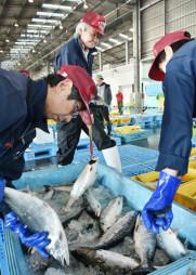 ママスを選別する宮古市魚市場の職員。秋サケ産業の構造転換が迫られている=宮古市臨港通