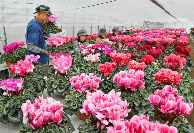 ビニールハウスいっぱいに鮮やかな花を咲かせるシクラメン。出荷が最盛期を迎えている=4日、一関市厳美町