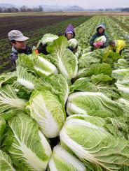 大詰めを迎えた白菜の収穫。寒さで甘味が増している