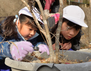 トネリコの木に付着した卵の数を調べる亀岳小の児童