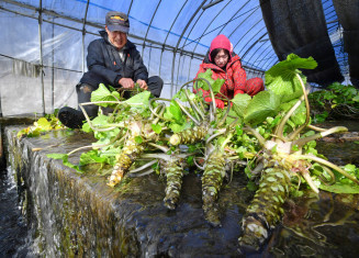湧き水を使ったワサビ田で、収穫に励む福地孝市さん(左)と千津子さん夫妻=17日、遠野市宮守町達曽部