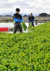 収穫作業のピークを迎えたセリ田=21日、北上市下江釣子