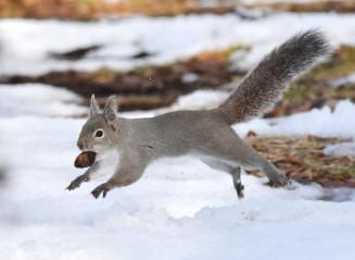 木の実をくわえ、雪の上を元気に駆け回るニホンリス=22日、盛岡市みたけ・県営運動公園
