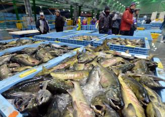 サケやサバなどが並び、市場関係者の威勢のいい声が響いた初売り=4日午前6時20分、宮古市魚市場
