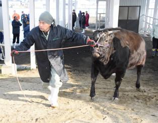 東京食肉市場へ初出荷される肉牛