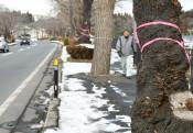 桜のトンネル一部伐採へ 平泉、枯死や倒木に対応