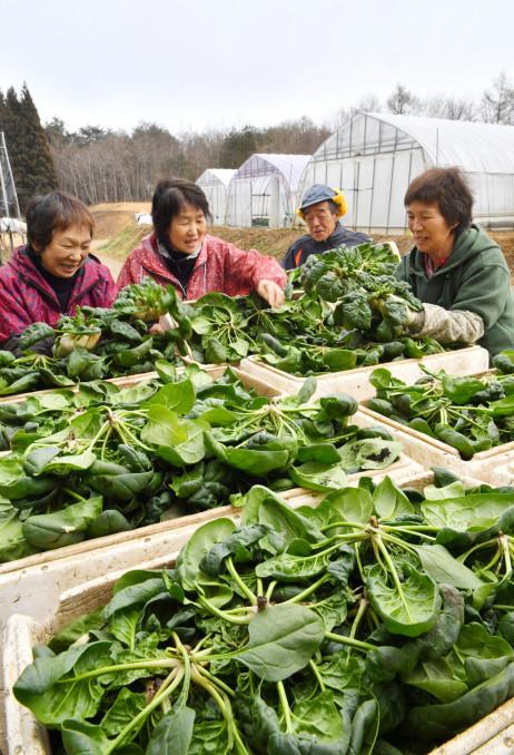 収穫した寒締めホウレンソウの出来を確かめる(右から)川平れい子さん、義明さんら=21日、久慈市長内町