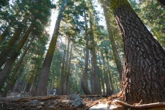 これまでのトレイルとは一変し、北カリフォルニアでは深い森歩きが多くなる