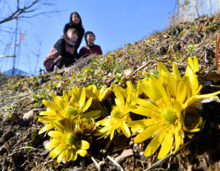 陽気に誘われ鮮やかな黄色い花を咲かせたフクジュソウ=5日、紫波町赤沢