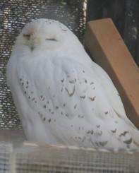 白く柔らかな冬毛のシロフクロウ