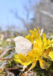 春の陽気に誘われ、フクジュソウの周りをチョウやミツバチが飛び回った=5日、紫波町佐比内