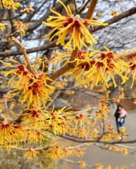 春の陽光を受けて咲き誇るマンサク=6日、北上市本石町・詩歌の森公園