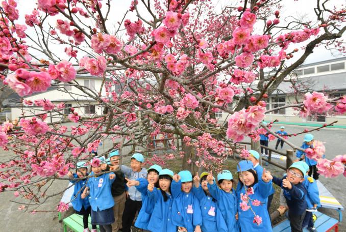 満開の梅を見上げ、歓喜する園児=12日、大船渡市末崎町・末崎保育園