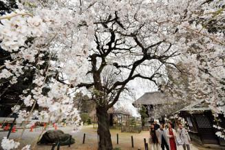 例年より1週間ほど早く咲いた茂林寺のシダレザクラ=群馬県館林市