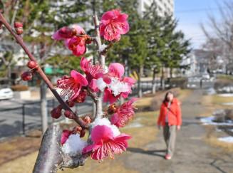 雪がのり、色鮮やかさが際立つ紅梅=3日、盛岡市本町通・緑の広場