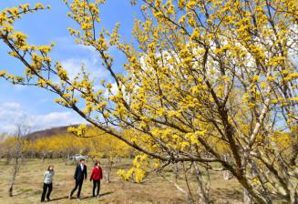 枝いっぱいに黄色い花を咲かせるサンシュユ=4日、一関市藤沢町・館ケ森アーク牧場