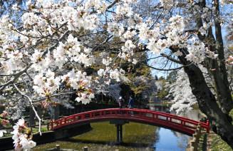 見頃を迎えている間々田八幡公園のソメイヨシノ=栃木県小山市間々田