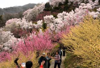 美しい花々が山肌を彩り、見頃を迎えた花見山=福島市