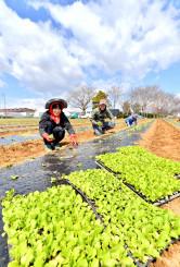 青空の下、レタスの苗を一つ一つ手植えする農家の人たち=9日、矢巾町高田
