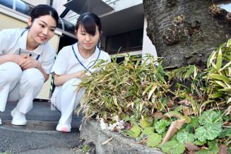 幹の根元近くで開花した栃内病院のソメイヨシノ