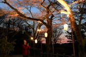 光に照らされ満開待ち遠し 一関・釣山公園
