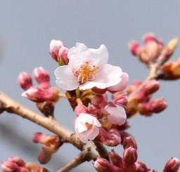 かれんな花を開き、しっとり雨にぬれる石割桜=15日午後3時、盛岡市内丸・盛岡地裁前