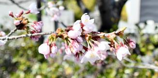 開花が発表された宮古市の桜の標準木