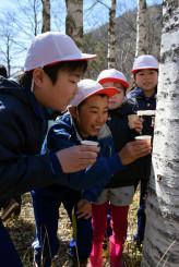 シラカバ樹液採取に夢中になる児童