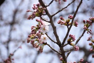 花びらがほころびだした北上市の基準木