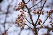 北上でも桜が開花 県内続々