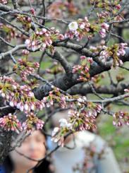 開花を観測した岩手公園の桜の標準木=18日、盛岡市内丸